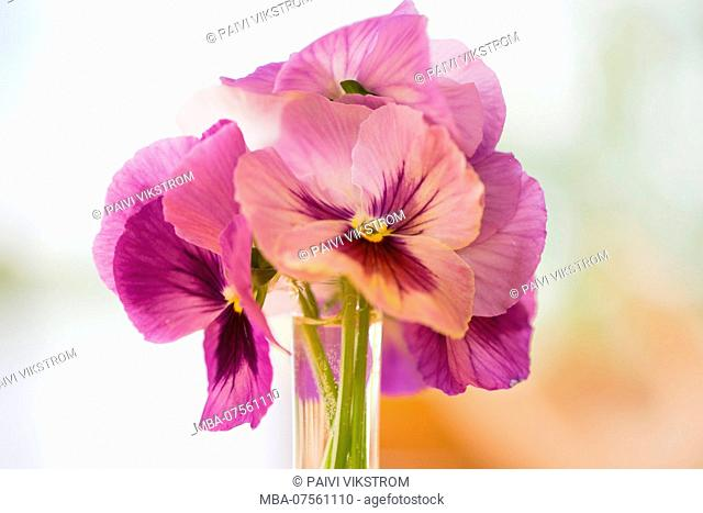 Beautiful Bouquet of Pansy Flowers in purple color, bokeh background