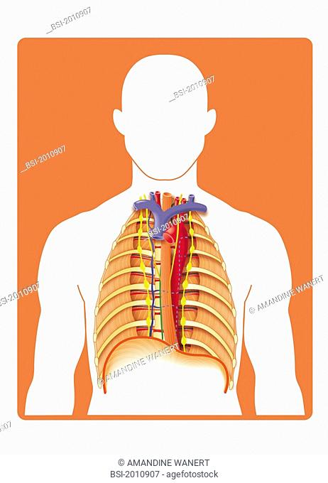 THORAX, DRAWING The posterior mediastinum, anterior view ablation of the heart, lungs and pleurae. The mediastinum is the anatomical region of the thorax...