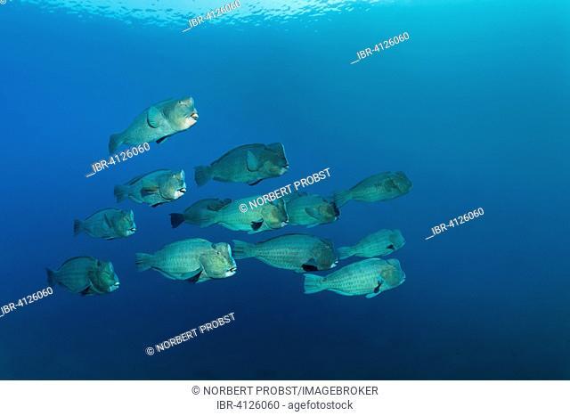 Swarm of Green humphead parrotfish (Bolbometopon muricatum) in blue water, Bali