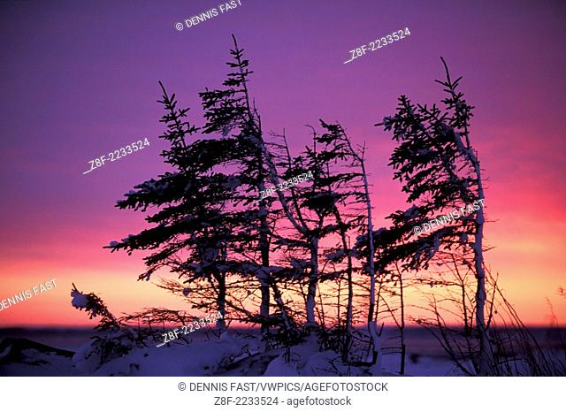 One-sided arctic black spruce ( Picca mariana ) tree silhouette at sunset near Churchill Manitoba Northern sub-arctic Canada