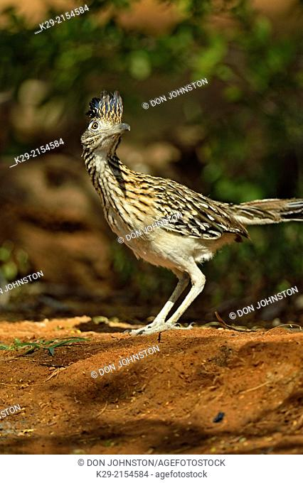 Roadrunner (Geococcyx californianus), Rio Grande City, Texas, USA