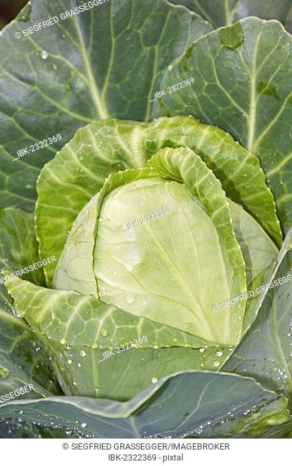 White cabbage (Brassica oleracea convar. capitata var. alba), organic vegetables
