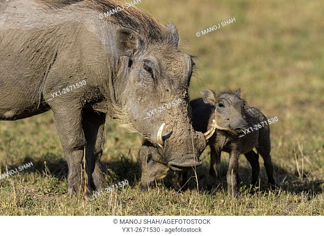 Warthog mother and babies in Masai Mara, Kenya