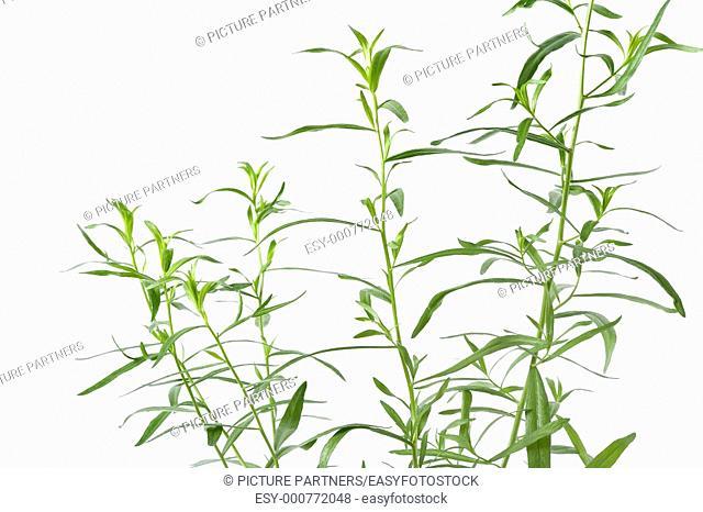Tarragon, Artemisia Dracunculus, On White Background