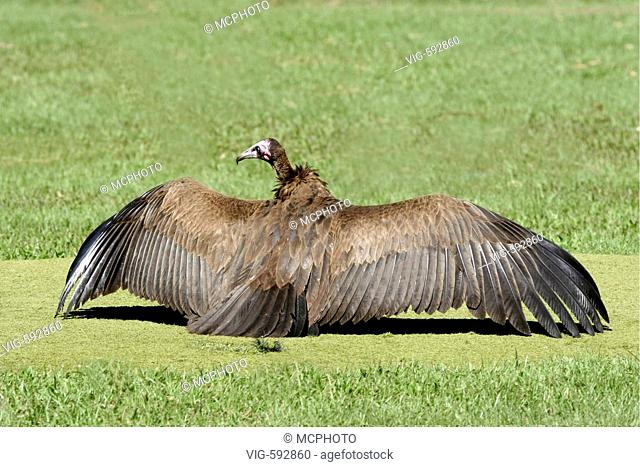 Kappengeier / Hooded Vulture / Necrosyrtes monachus nimmt Sonnenbad am Golfplatz,  Gambia WestAfrica - Gambia, Africa, 20/09/2005