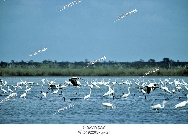 Herons, ibis and cormorants Crooked Tree Lagoon, Belize 2003