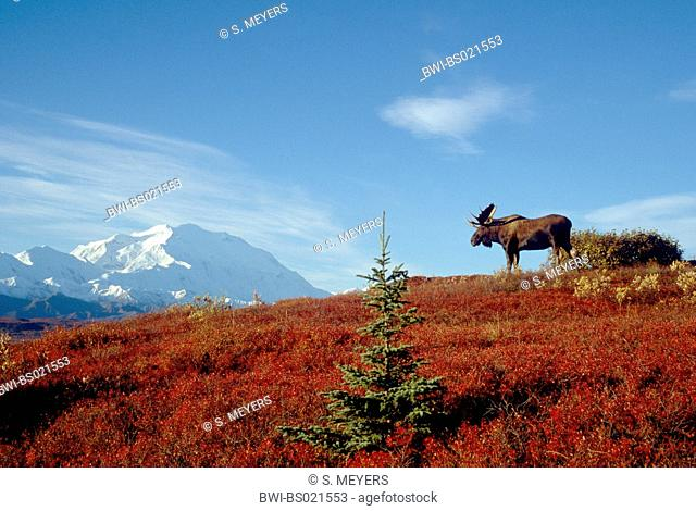 Alaska moose, Tundra moose, Yukon moose (Alces alces gigas, Alces gigas), bull with mt.McKinley in background, USA, Alaska, Denali Nationalpark