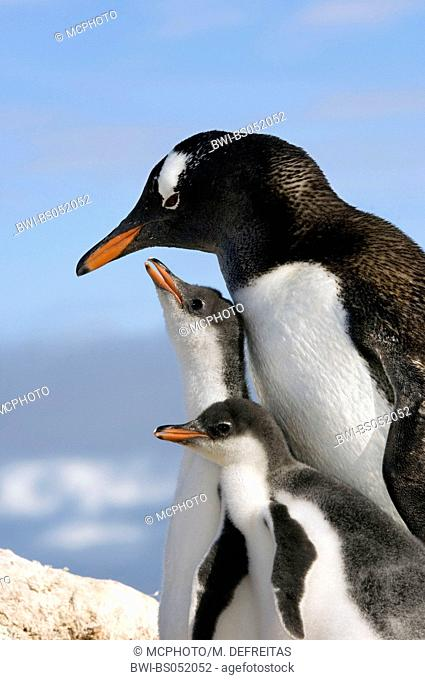 gentoo penguin (Pygoscelis papua), with two youngs, Antarctica