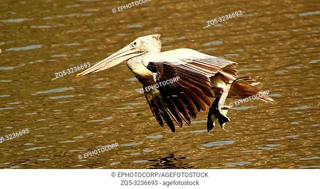 Spot billed pelican in flight, Pelecanus philippensis, Ranganathittu Bird Sanctuary, Karnataka, India