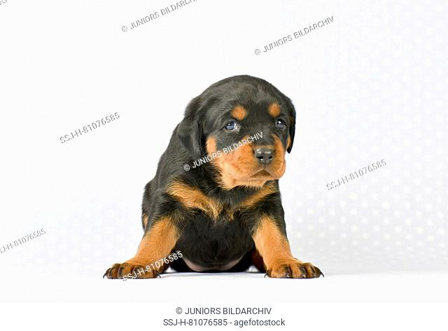 Mixed-breed dog, Rottweiler x Bernese Mountain Dog. Puppy (5 weeks old) sitting, seen head-on. Studio picture. Germany