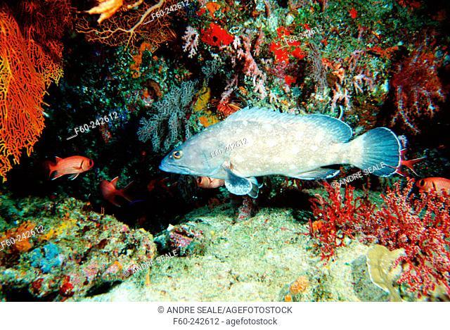 White-spotted Grouper (Epinephelus caeruleopunctatus). Similan Islands, Andaman Sea. Thailand