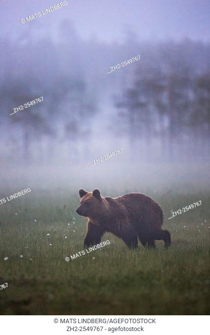 Brown bear, Ursus arctos walking in fog over a moss at dawn, Kuhmo, Finland