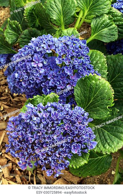 Low growing Hydrangea with large heads of purple-blue flowers in full bloom
