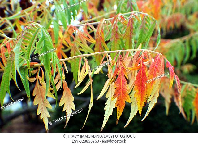 Close up of red, yellow and green leaves of a Staghorn Sumac tree in fall