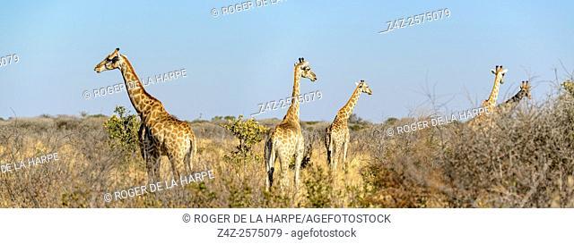 South African giraffe or Cape giraffe (Giraffa camelopardalis giraffa). Haina Kalahari Lodge. Botswana