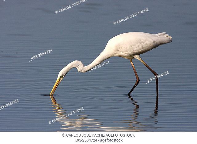 Great egret (Ardea alba). Parque Natural de S'Albufera de Mallorca. Balearic Islands. Spain