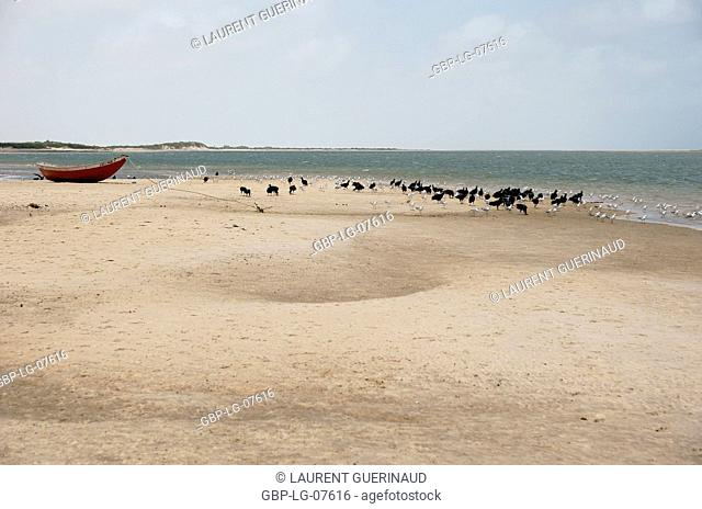 Bird, Seagull-head-ash, Vulture-head-black, Lençois, Atins, Maranhão, Brazil