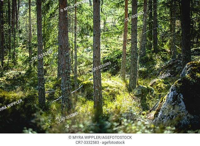 Pine tree forest in Östergötland, Sweden