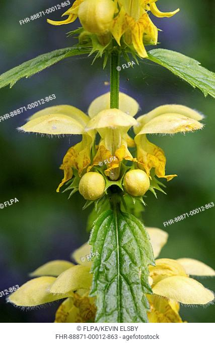Yellow Archangel (Lamium galeobdolon) flower growing in ancient woodland, showing close-up of flower, Norfolk, April