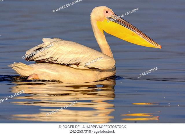 Great white pelican or eastern white pelican or rosy pelican or white pelican (Pelecanus onocrotalus). Lake Naivasha. Naivasha. Great Rift Valley