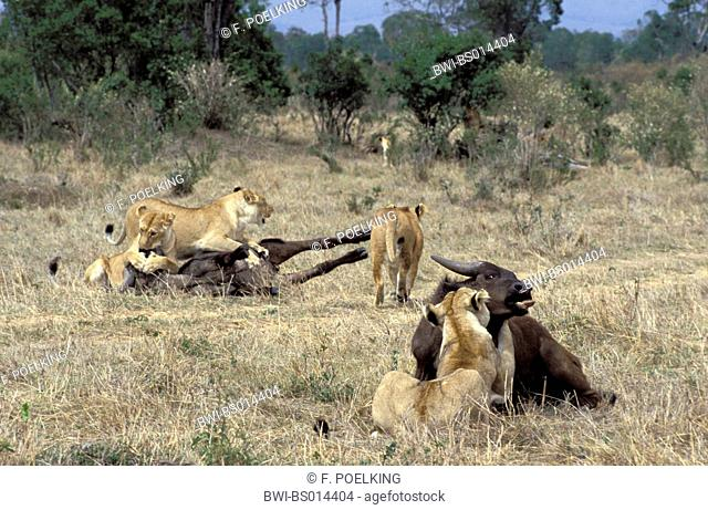 lion (Panthera leo), four lioness with captured African buffalos, Kenya