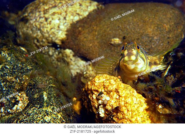 Female freshwater blenny in the river Rizzanese in the south of Corsica. Salaria fluviatilis