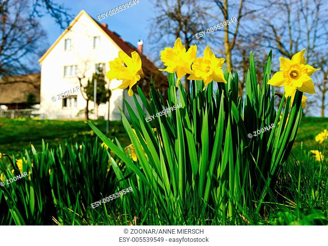 Narcissus pseudonarcissus, spring daffodil farm