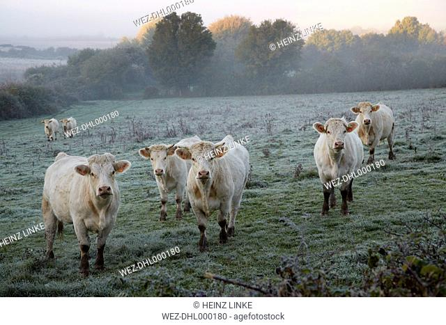 France, Burgundy, Charolais cattle on pasture near Nevers