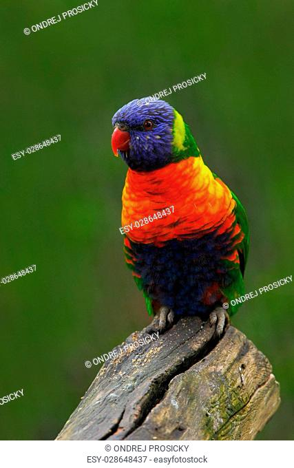 Colourful parrot Rainbow, Lorikeets Trichoglossus haematodus