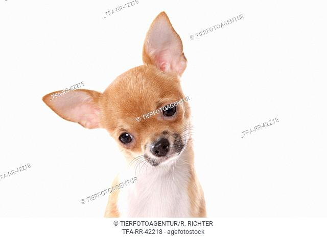 shorthaired Chihuahua