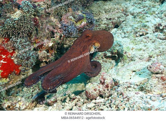 Common Reef Octopus, Octopus cyanea, Felidhu Atoll, Maldives