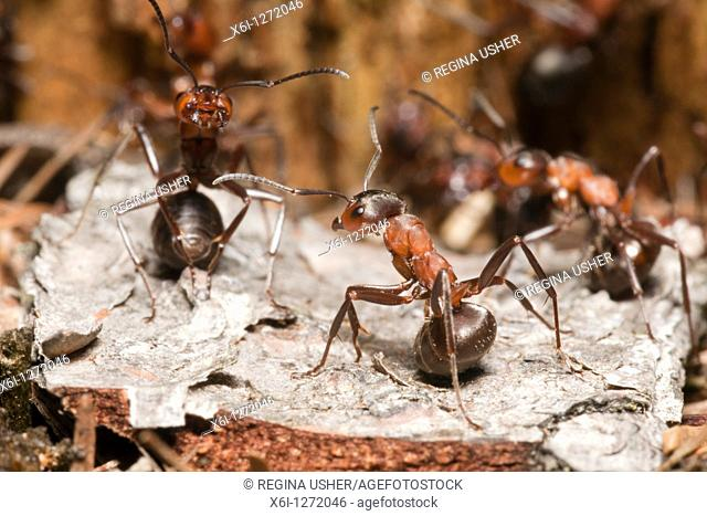 Wood Ant Formica rufa, two in the defence posture, at entrance of nest, Lower Saxony, Germany
