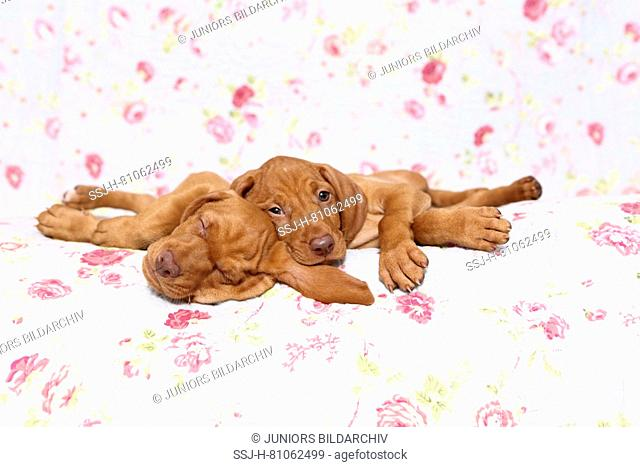 Vizsla. Two puppies (6 weeks old) lying on a blue blanket with rose flower print. Germany