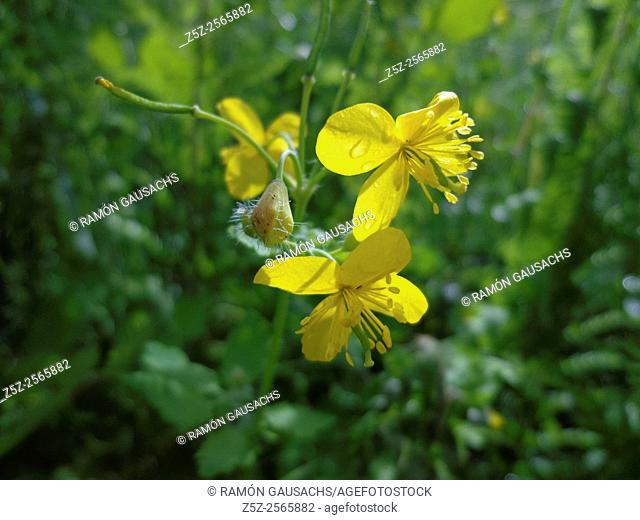 Greater celandine (Chelidonium majus). Catalonia, Spain