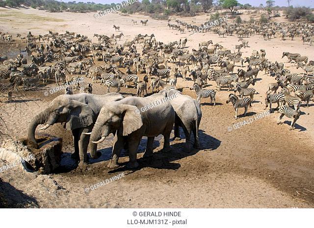Elephants and Zebras in Boteti River bed, Botswana