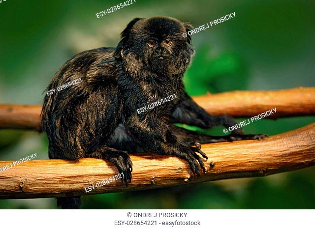 Goeldi's Marmoset or Goeldi's Monkey, Callimico goeldii