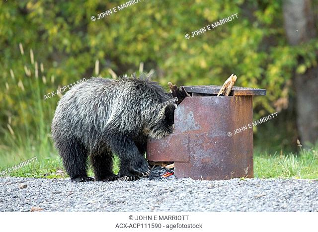 Grizzly bear cub getting into garbage