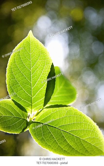 Close up of Japanese Stewartia leaf