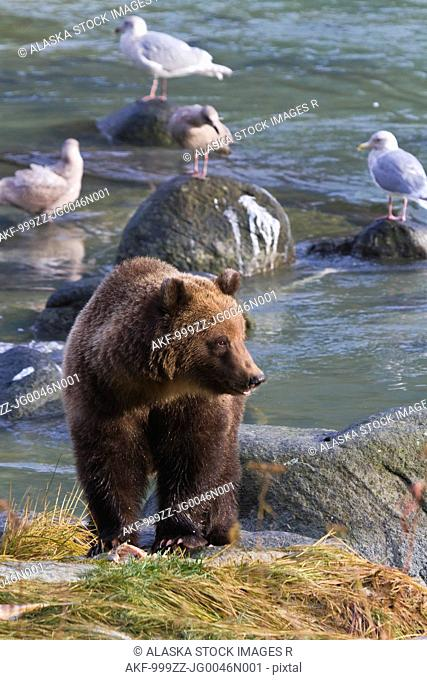 Sub-adult Brown Bear fishing for salmon, Chilkoot River, Haines, Southeast Alaska, Autumn