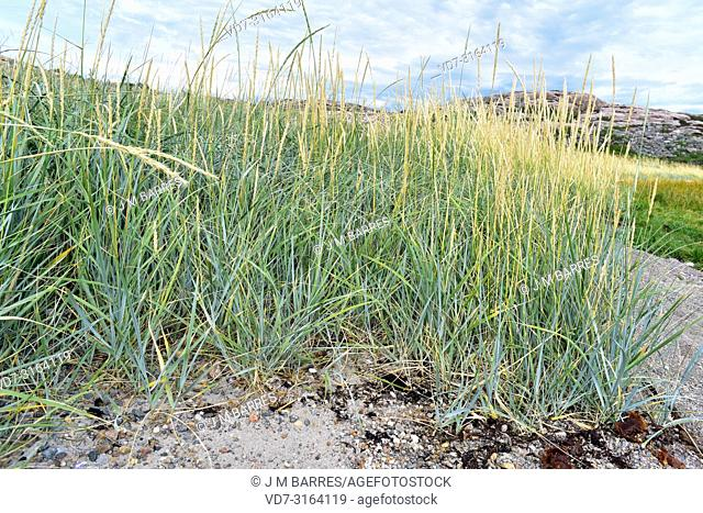 Blue lyme grass or sea lyme grass (Leymus arenarius or Elymus arenarius) is a perennial herb native to west north Europe