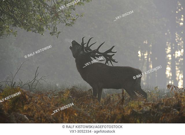 Red Deer (Cervus elaphus), stag, roaring on a clearing deep in the woods, puffing its breath, autumnal mood, first morning mist, Europe