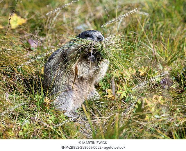 Alpine Marmot (Marmota marmota) in the NP Hohe Tauern near Mount Grossglockner. For hibernation the marmot is gathering gras and stems for bedding