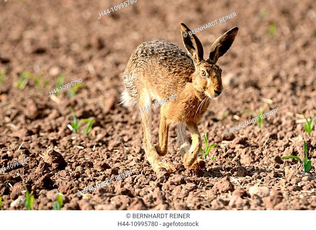 Hare, field hare