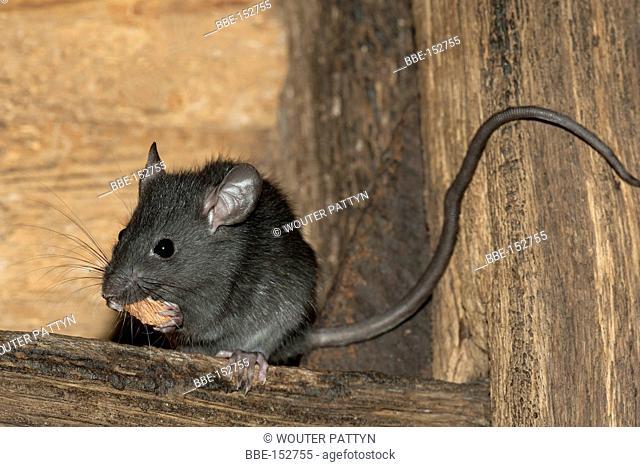 black rat eating