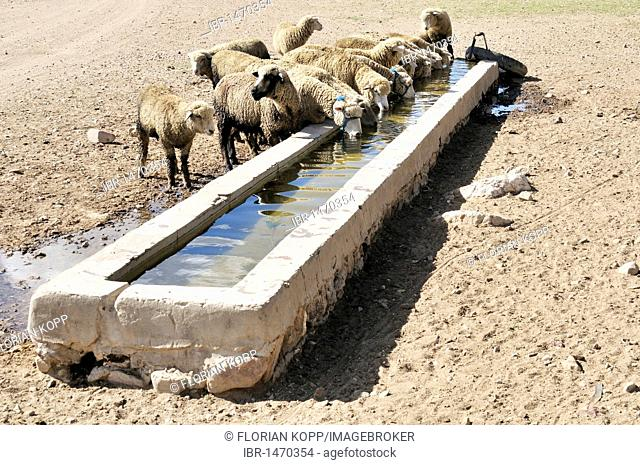 Sheep at a trough, Altiplano Bolivian highland, Oruro Department, Bolivia, South America