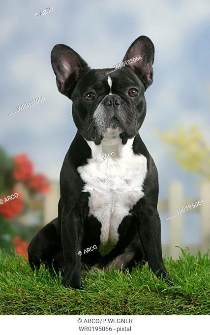 French, Bulldog