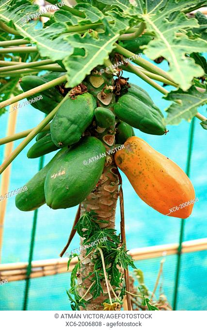 bunch of papaya fruits hanging on the plant