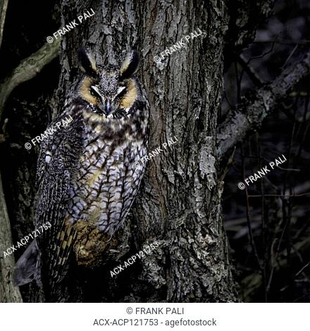 Long-eared Owls(Asio otus) are lanky owls that often seem to wear a surprised expression thanks to long ear tufts that typically point straight up like...
