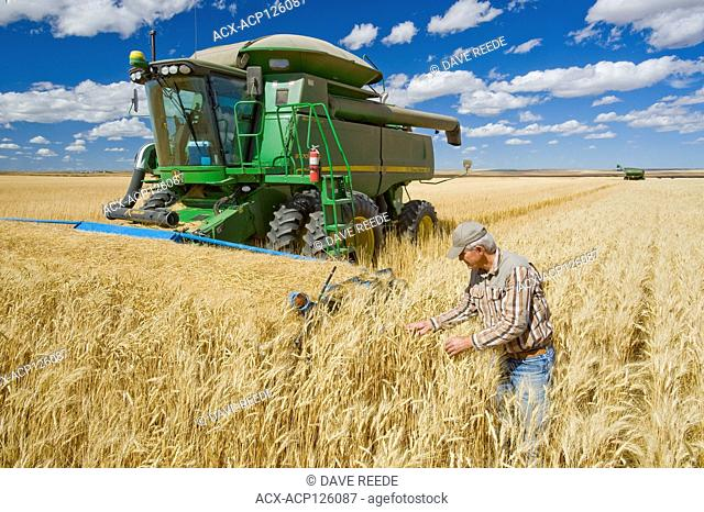 farmer in front of his combine harvester examines the crop during the durum wheat harvest, near Ponteix, Saskatchewan, Canada