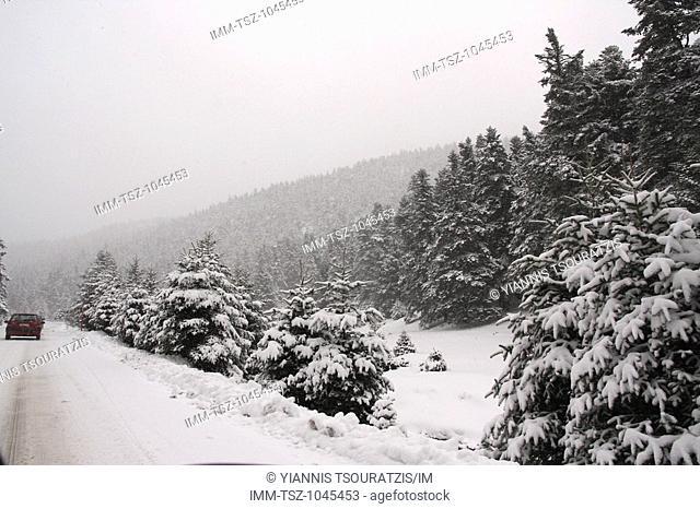 The drive up to Arachova ski resort. Snow covered trees near Arachova. Kellaria, Parnassos, Arachova, Viotia, Central Greece, Europe
